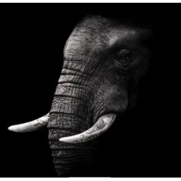 Canvas 70X70 Canvas 70X70 0006 Elefante